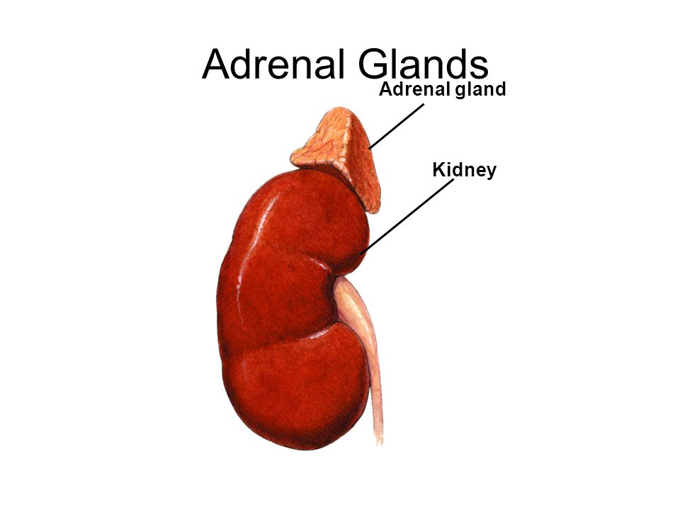 Adrenal Glands Adrenal gland Kidney
