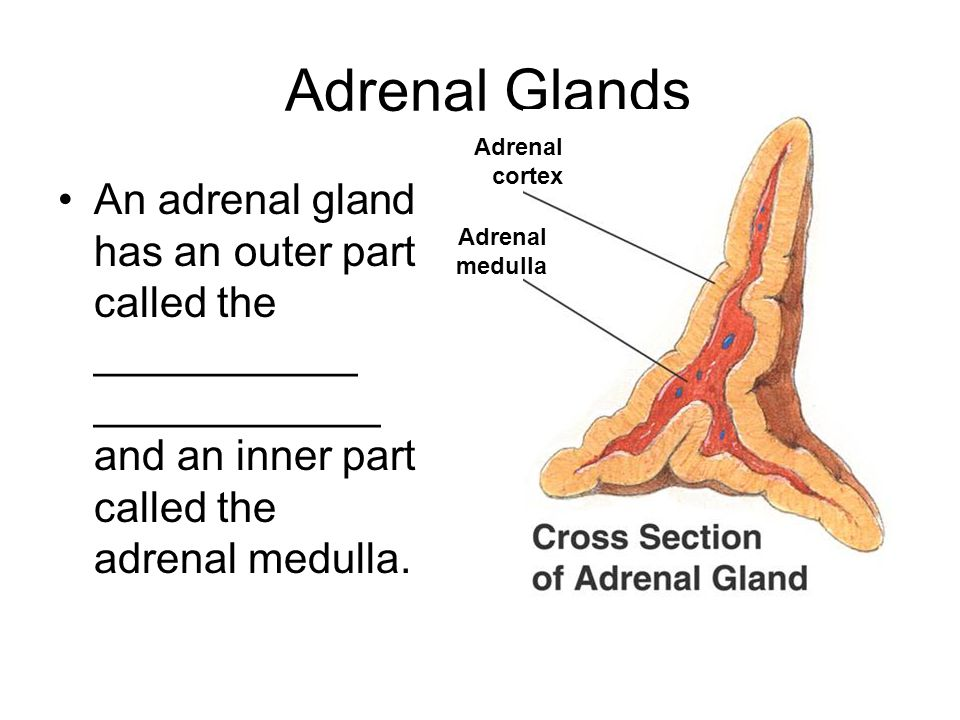 Adrenal Glands Adrenal cortex. An adrenal gland has an outer part called the ___________ ____________ and an inner part called the adrenal medulla.