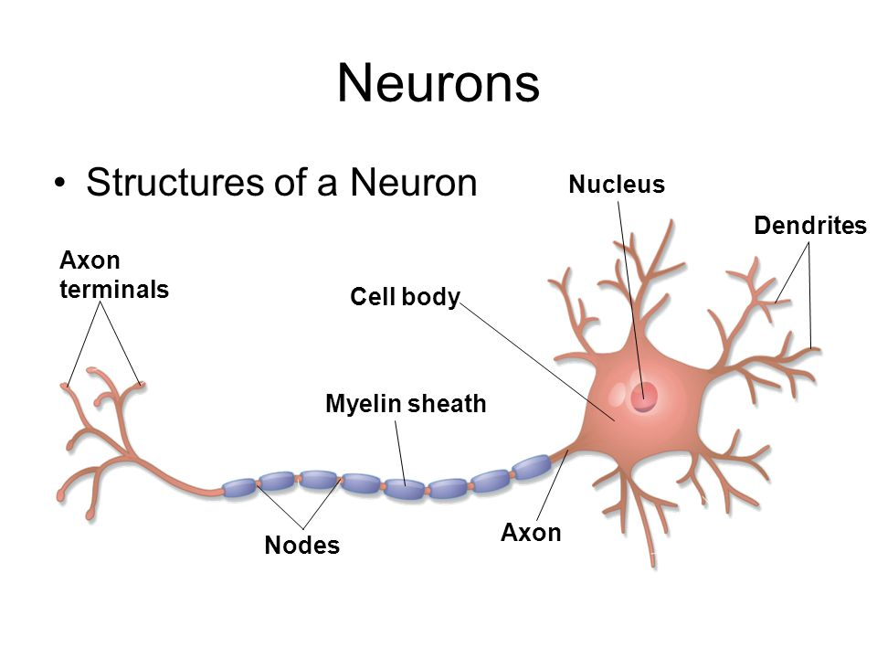 Neurons Structures of a Neuron Nucleus Dendrites Axon terminals