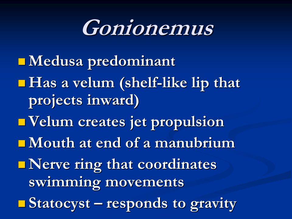 Gonionemus Medusa predominant