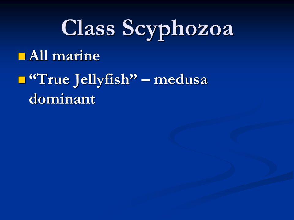 Class Scyphozoa All marine True Jellyfish – medusa dominant