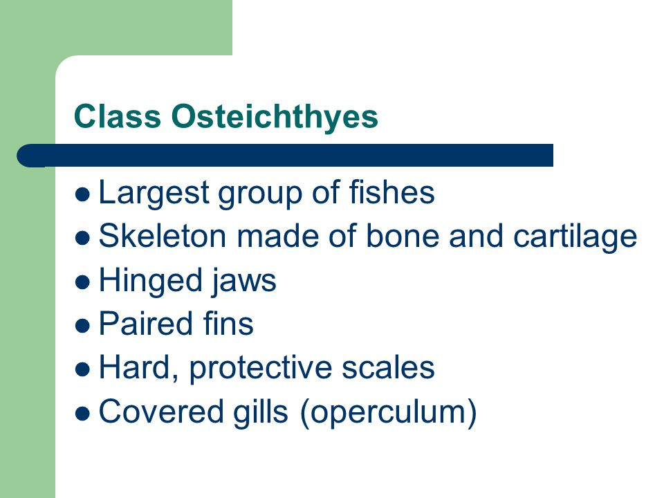 Class Osteichthyes Largest group of fishes. Skeleton made of bone and cartilage. Hinged jaws. Paired fins.