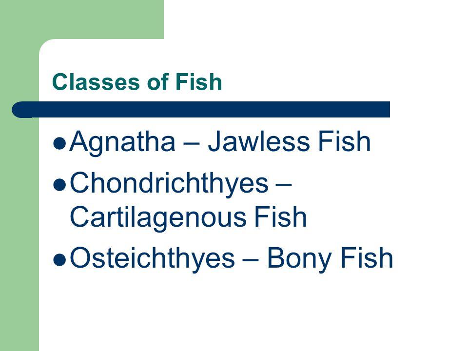 Chondrichthyes – Cartilagenous Fish Osteichthyes – Bony Fish