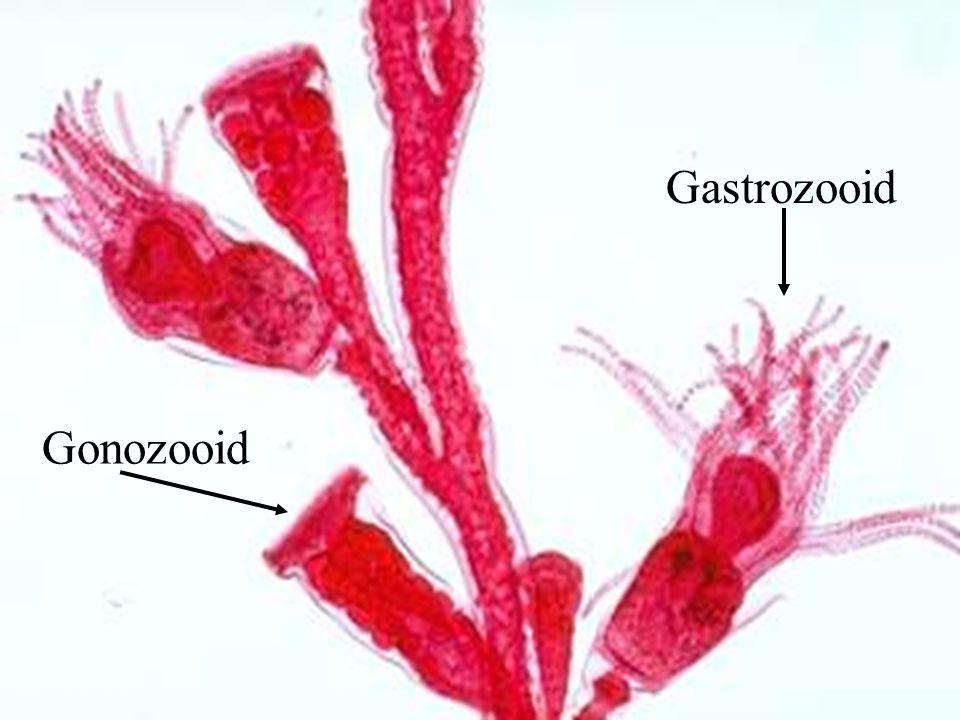 Gastrozooid Gonozooid