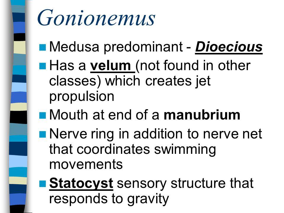 Gonionemus Medusa predominant - Dioecious