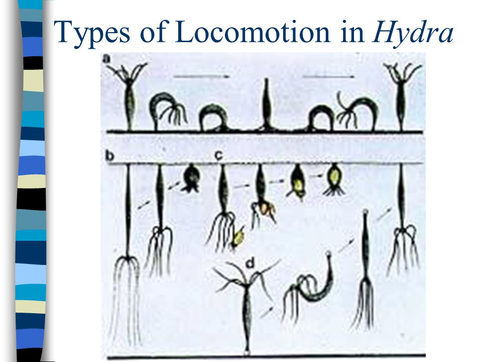 Types of Locomotion in Hydra