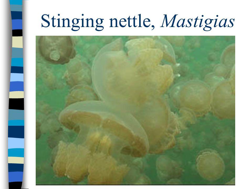 Stinging nettle, Mastigias