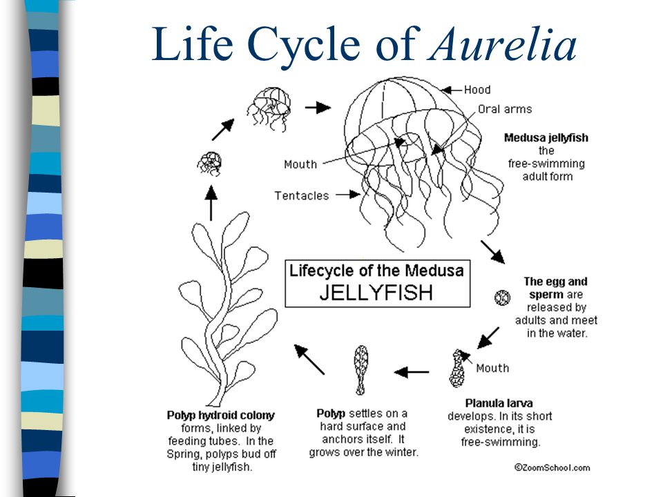 Life Cycle of Aurelia