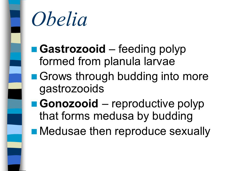 Obelia Gastrozooid – feeding polyp formed from planula larvae