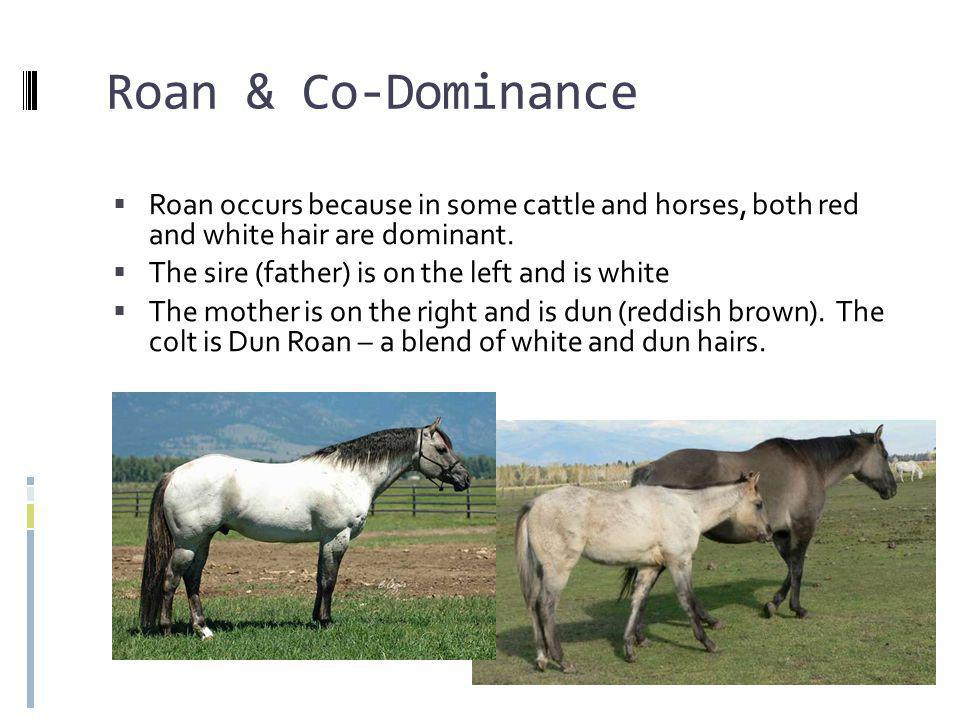 Roan & Co-Dominance Roan occurs because in some cattle and horses, both red and white hair are dominant.