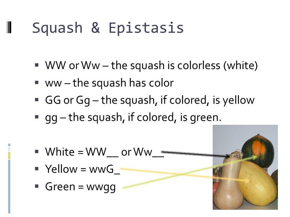 Squash & Epistasis WW or Ww – the squash is colorless (white)