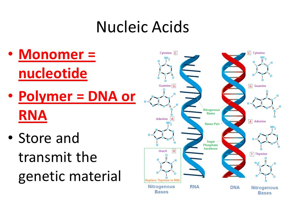 Nucleic Acids Monomer = nucleotide Polymer = DNA or RNA