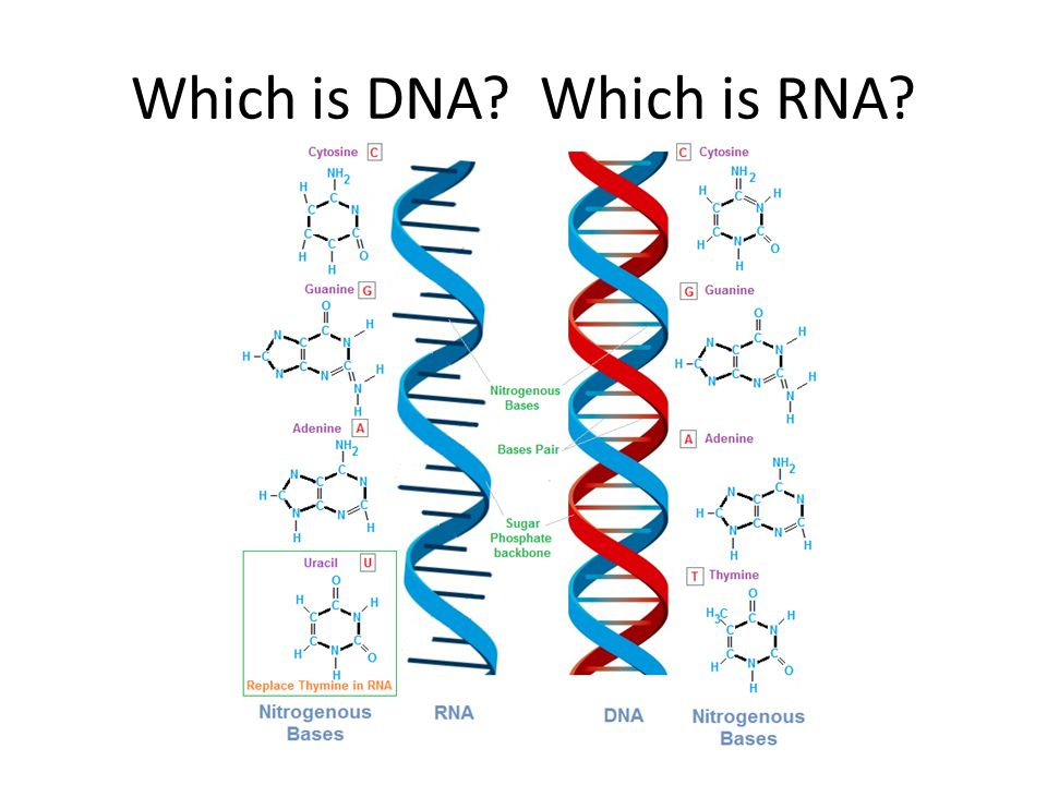 Which is DNA Which is RNA