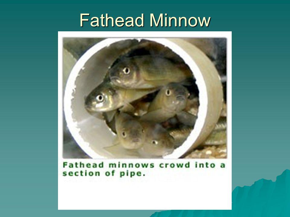 Fathead Minnow