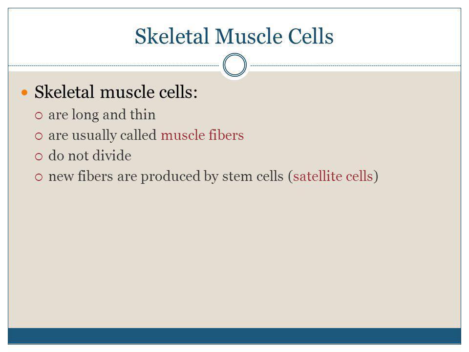 Skeletal Muscle Cells Skeletal muscle cells: are long and thin