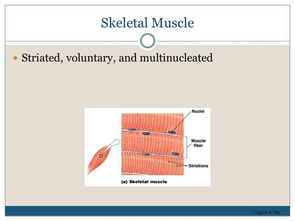 Skeletal Muscle Striated, voluntary, and multinucleated Figure 4–18a