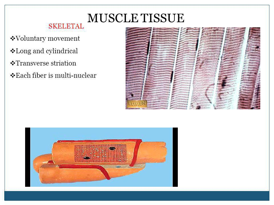 MUSCLE TISSUE SKELETAL Voluntary movement Long and cylindrical