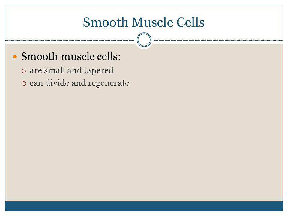 Smooth Muscle Cells Smooth muscle cells: are small and tapered