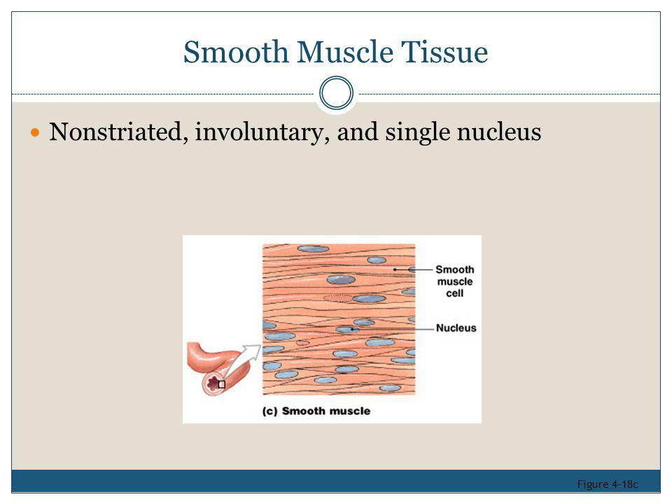 Smooth Muscle Tissue Nonstriated, involuntary, and single nucleus