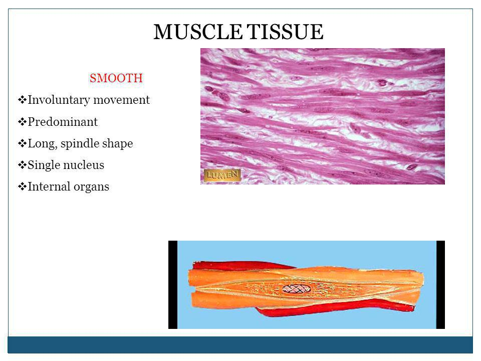 MUSCLE TISSUE SMOOTH Involuntary movement Predominant