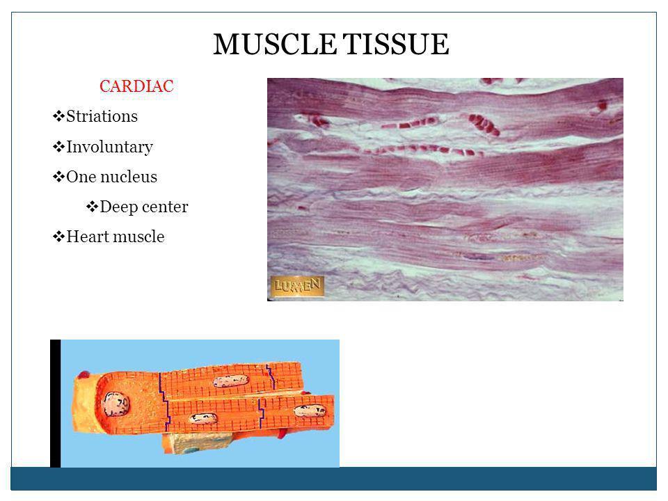 MUSCLE TISSUE CARDIAC Striations Involuntary One nucleus Deep center