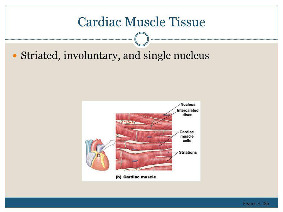 Cardiac Muscle Tissue Striated, involuntary, and single nucleus