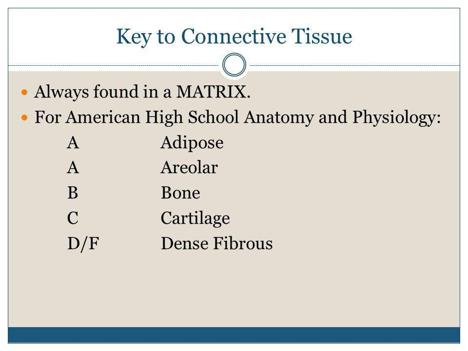 Key to Connective Tissue