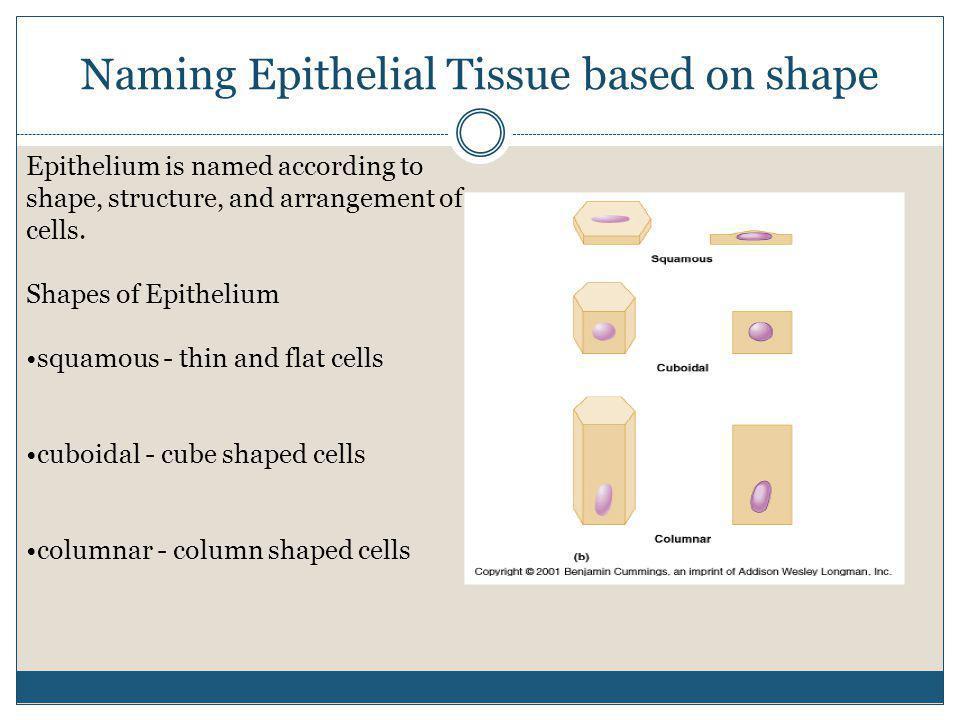Naming Epithelial Tissue based on shape