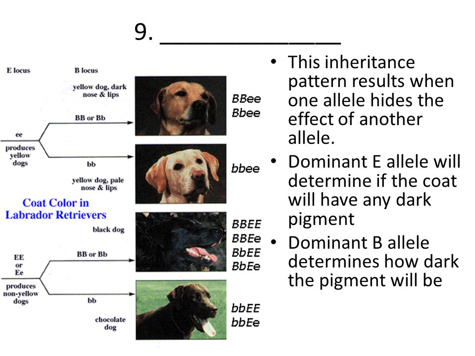 9. ______________ This inheritance pattern results when one allele hides the effect of another allele.