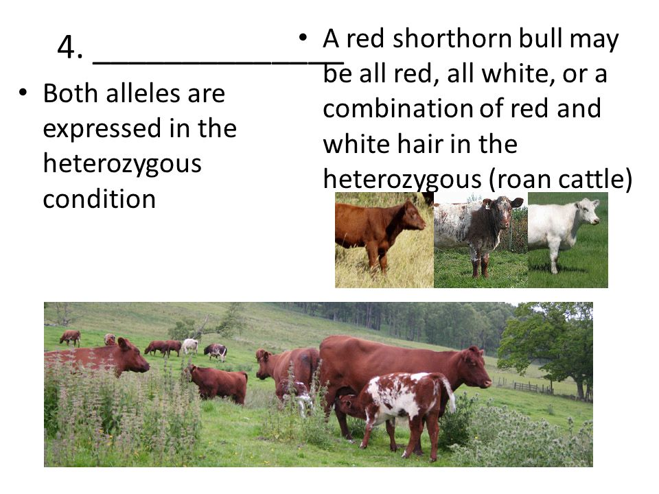 4. ______________ A red shorthorn bull may be all red, all white, or a combination of red and white hair in the heterozygous (roan cattle)