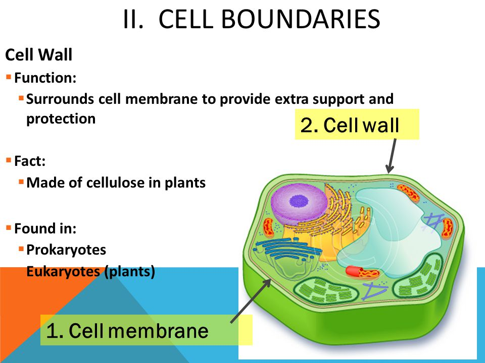 2. Cell wall 1. Cell membrane II. Cell Boundaries Cell Wall Function: