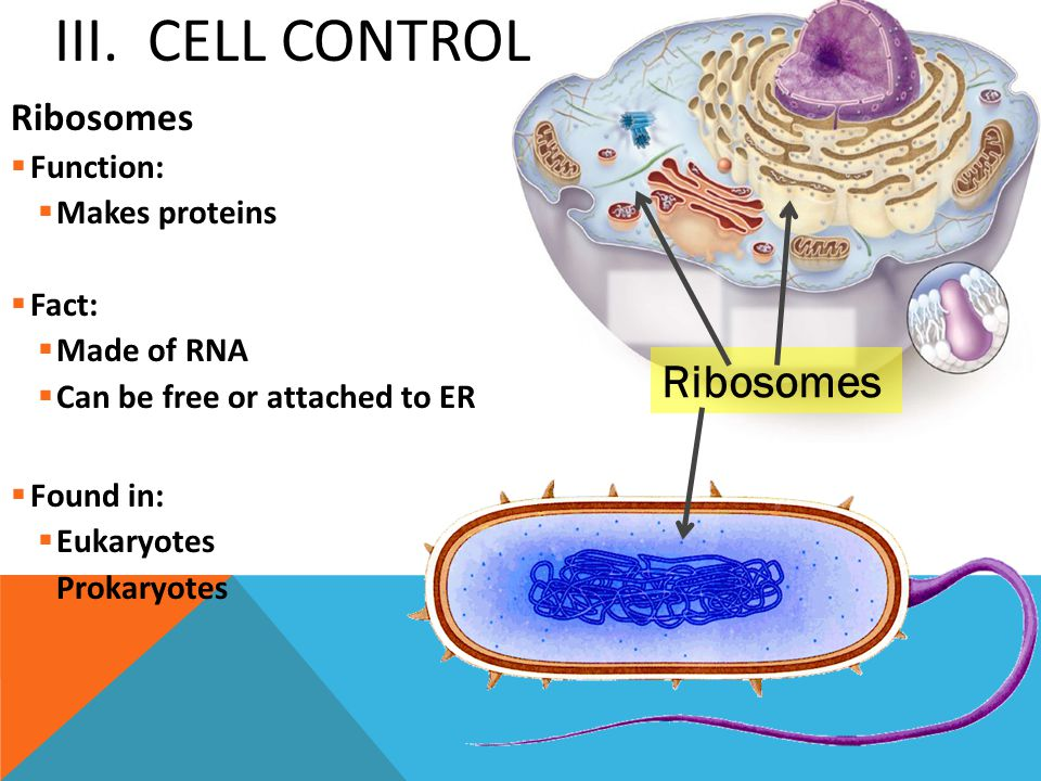 III. Cell Control Ribosomes Ribosomes Function: Makes proteins Fact: