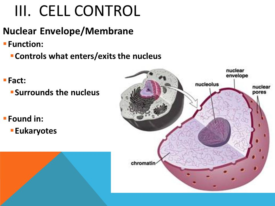 III. Cell Control Nuclear Envelope/Membrane Function: