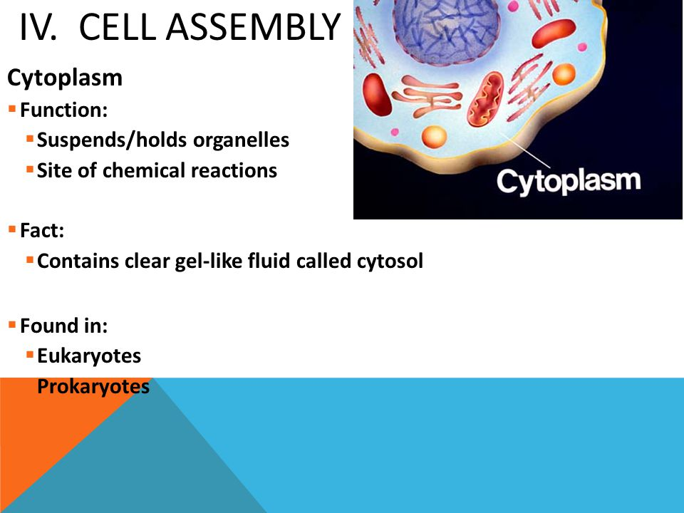 IV. Cell Assembly Cytoplasm Function: Suspends/holds organelles