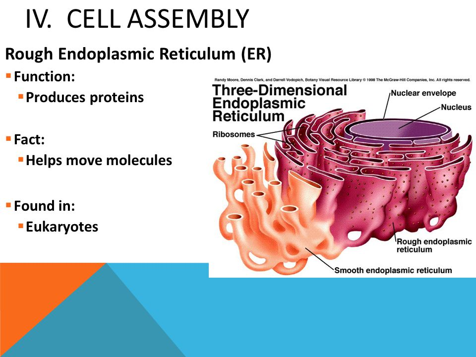 IV. Cell Assembly Rough Endoplasmic Reticulum (ER) Function: