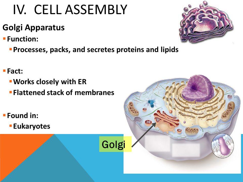IV. Cell Assembly Golgi Golgi Apparatus Function: