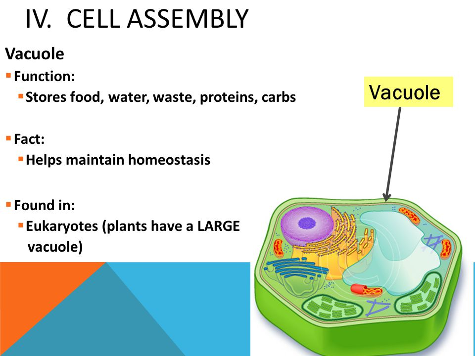 IV. Cell Assembly Vacuole Vacuole Function: