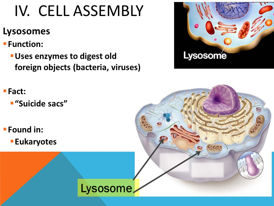 IV. Cell Assembly Lysosome Lysosomes Function: