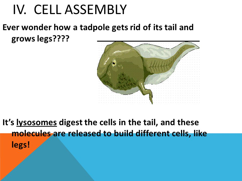 IV. Cell Assembly Ever wonder how a tadpole gets rid of its tail and grows legs