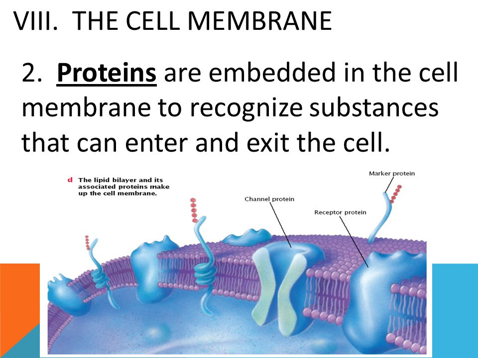 VIII. THE CELL MEMBRANE 2.