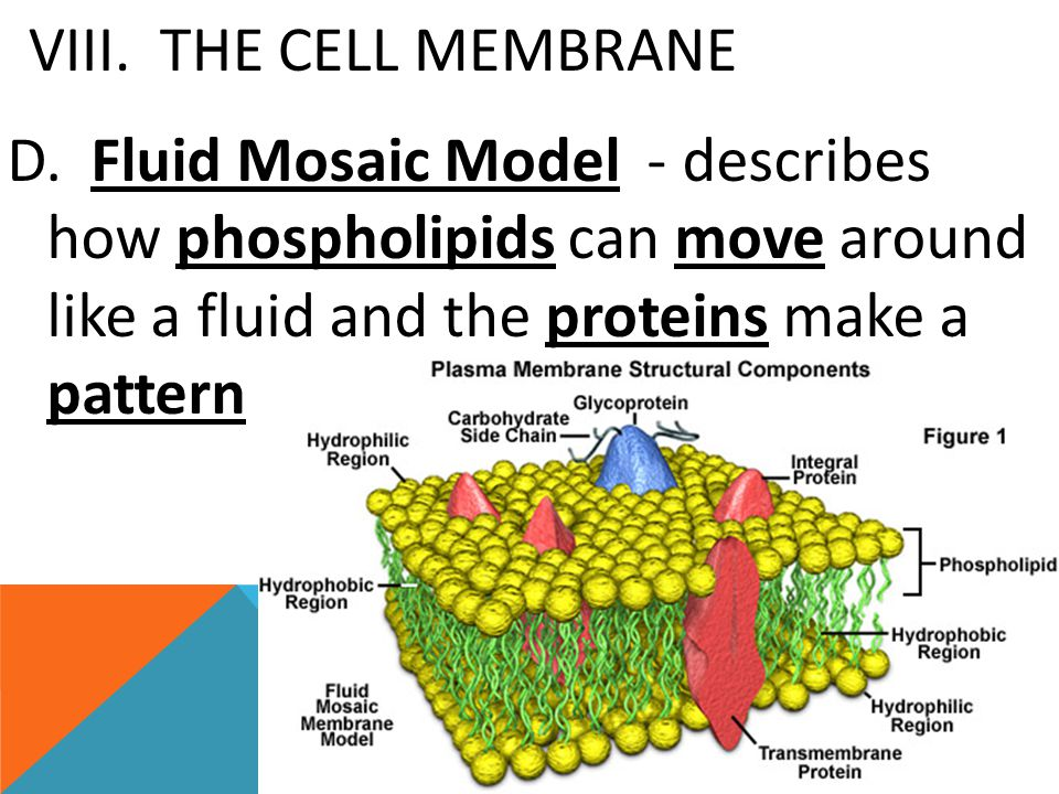 VIII. THE CELL MEMBRANE D.