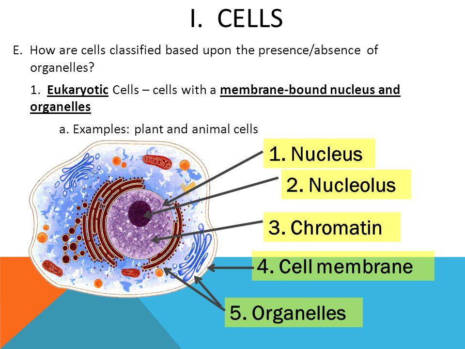 I. Cells 1. Nucleus 2. Nucleolus 3. Chromatin 4. Cell membrane