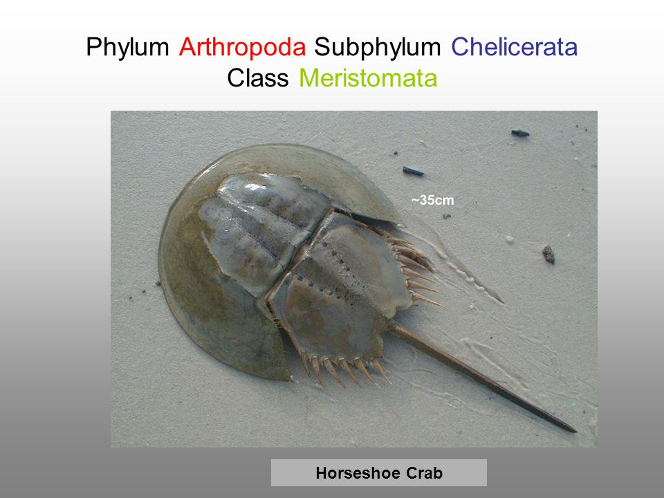Phylum Arthropoda Subphylum Chelicerata Class Meristomata