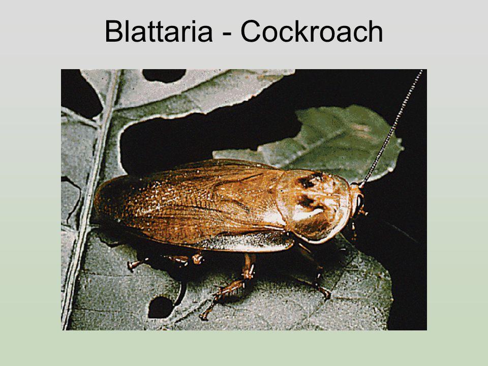 Blattaria - Cockroach