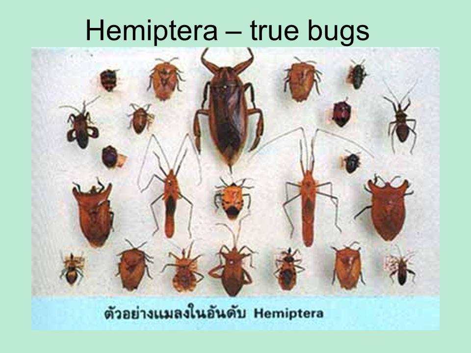 Hemiptera – true bugs