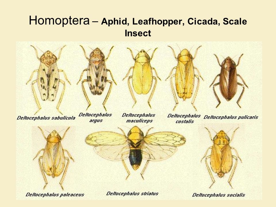 Homoptera – Aphid, Leafhopper, Cicada, Scale Insect