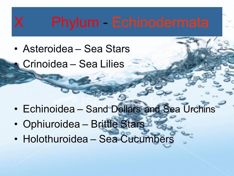 X Phylum - Echinodermata