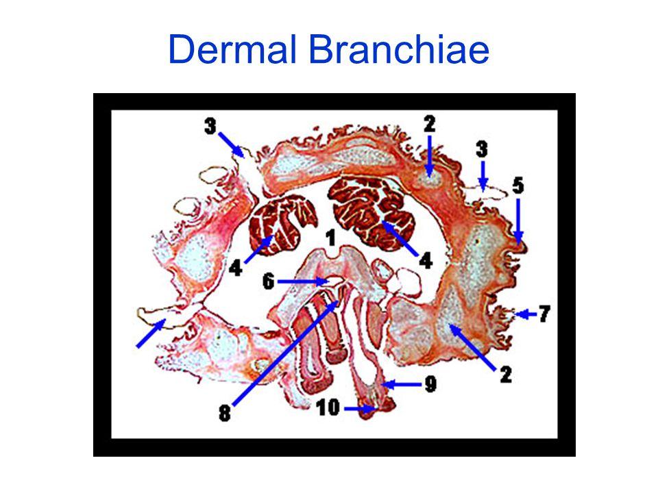 Dermal Branchiae