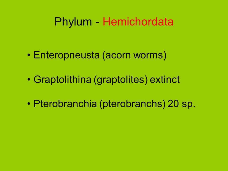 Phylum - Hemichordata Enteropneusta (acorn worms)