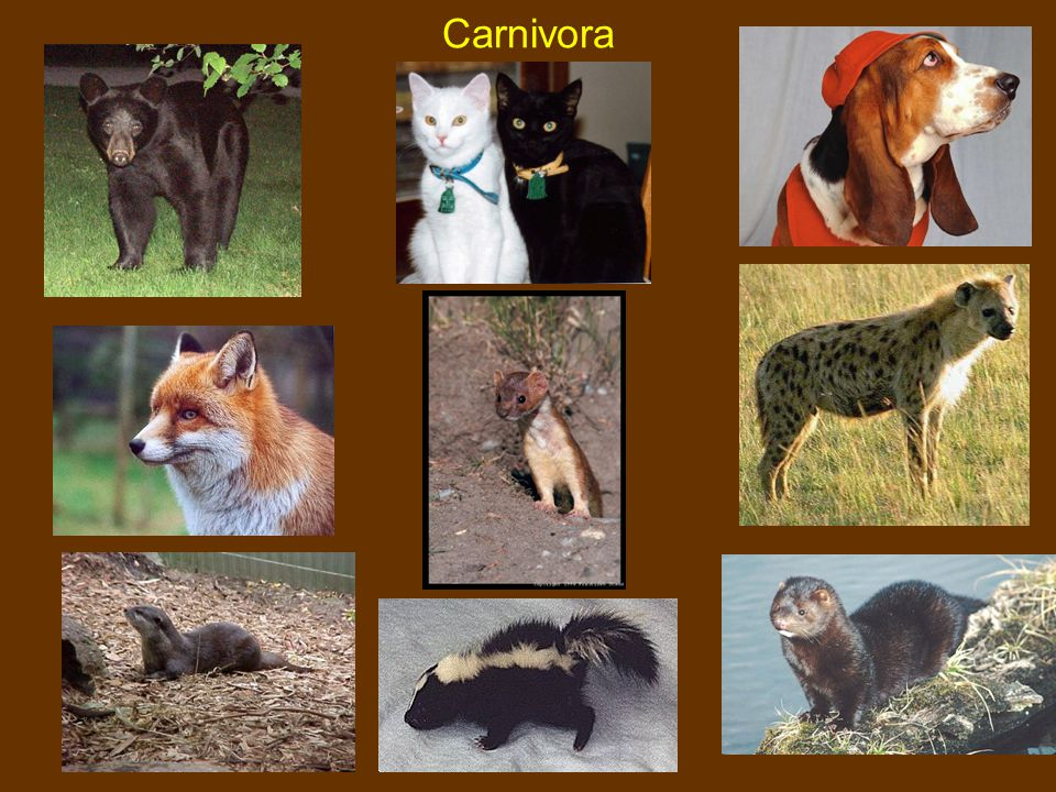 Carnivora